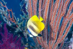Butterflyfish Photographie stock