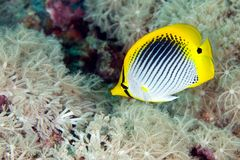 Butterflyfish. A beautiful butterflyfish swimming over a patch of soft corals, underwater Stock Photography