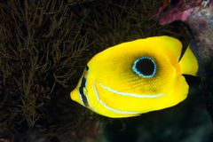 Butterflyfish Royalty-vrije Stock Fotografie