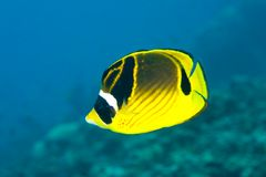Butterflyfish. A yellow, black and white Racoon butterflyfish swimming underwater with blue water background Stock Image