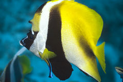 ButterflyFish. Tropical fish ButterflyFish (Chaetodon). Maldives. Indian ocean. Addu atoll royalty free stock photos