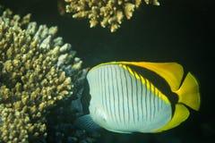Butterflyfish Стоковое фото RF