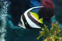 Butterflyfish Στοκ εικόνες με δικαίωμα ελεύθερης χρήσης