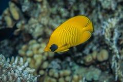 Butterflyfish Стоковое Изображение