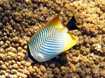 Butterflyfish. A little butterflyfish in the coral reef Stock Photo