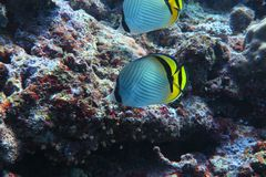 Butterflyfish Stock Foto