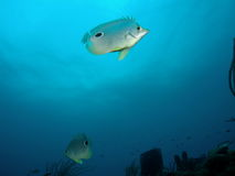 Butterflyfish Royalty Free Stock Photography