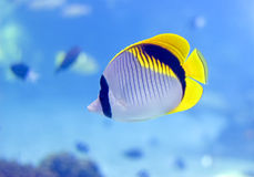 butterflyfish Obrazy Royalty Free