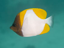 Butterflyfish amarillos de la pirámide Foto de archivo libre de regalías