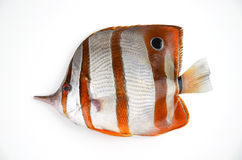Butterflyfish anaranjados Fotos de archivo