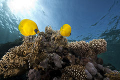 Free Butterflyfish And Ocean Stock Image - 11974231