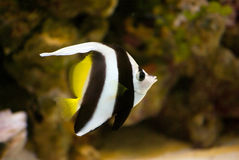 Butterflyfish in the aquarium. And dark rocks background Royalty Free Stock Photography