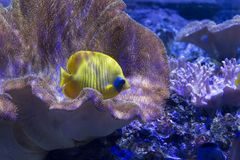 Butterflyfish in aquarium royalty free stock images