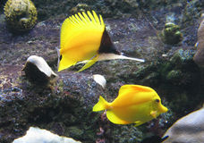 Butterflyfish au nez long Photos stock