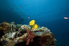 Butterflyfish auf Ladung des Yolanda-Wrackes lizenzfreies stockfoto