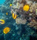 Butterflyfish av det lästa havet Royaltyfri Bild
