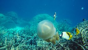 Butterflyfish, bannerfish and reef fish eating jellyfish stock image