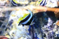 Butterflyfish Stock Images