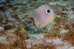 butterflyfish capistratus chaetodon foureye 库存图片