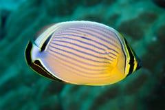 butterflyfish chaetodon红鳍淡水鱼trifasciatus 免版税图库摄影