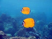 butterflyfish chaetodon织工wiebeli 库存照片