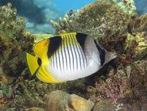 Butterflyfish, chaetodon Fotografia de Stock