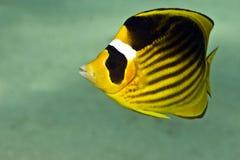 butterflyfish chaetodon fasciatus浣熊红海 免版税库存图片