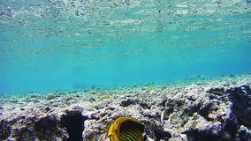 Butterflyfish, Chaetodon fasciatus, Colorful Tropical Fish on Coral Reefs in the Red Sea stock video
