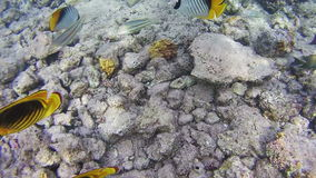 Butterflyfish, Chaetodon fasciatus, Colorful Tropical Fish on Coral Reefs in the Red Sea. stock video