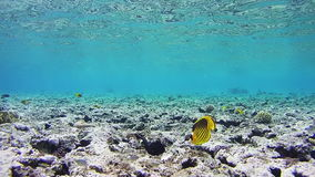 Butterflyfish, Chaetodon fasciatus, Colorful Tropical Fish on Coral Reefs in the Red Sea stock video footage