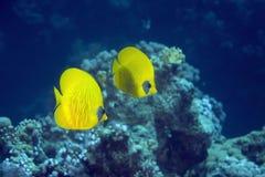 butterflyfish chaetodon larvatus屏蔽了 库存照片