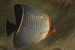 Butterflyfish (Chaetodon larvatus) stockbild