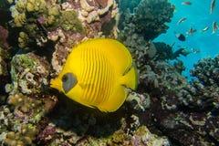 Butterflyfish cheeked синью Стоковое Изображение RF