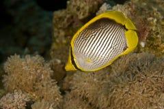 Butterflyfish com o dorso negro (melannotus do chaetodon) fotografia de stock royalty free