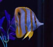 Butterflyfish Copperband в аквариуме стоковые изображения