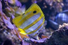 butterflyfish copperband 免版税库存照片