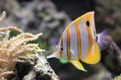 Butterflyfish Copperband Стоковое Изображение RF