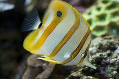 butterflyfish copperband fotografia stock