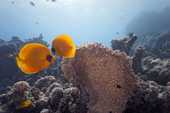 Butterflyfish on the coral reef Stock Photos