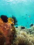 Butterflyfish on a coral reef Royalty Free Stock Photo