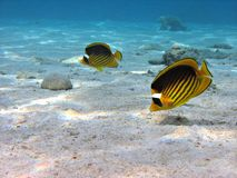 Butterflyfish Couple. A couple of Racoon Butterflyfish stock images