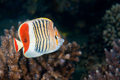 Butterflyfish da coroa fotografia de stock