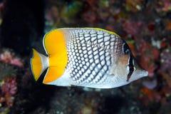 Butterflyfish dalla coda gialla (xanthurus di Chaetodon) Fotografia Stock