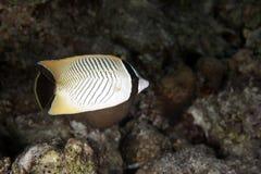 Butterflyfish de Chevron imagens de stock royalty free