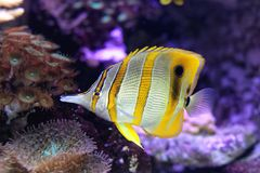 Butterflyfish de Copperband Imagens de Stock Royalty Free