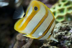 Butterflyfish de Copperband Fotografia de Stock
