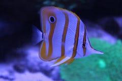 Butterflyfish de Copperband et x28 ; Rostratus& x29 de Chelmon ; , beaux poissons blancs jaunes dans le réservoir Photo stock