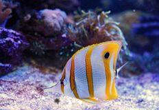 Butterflyfish de Copperband imagens de stock