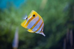 Butterflyfish de Copperbanded foto de stock royalty free