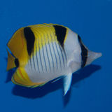 Butterflyfish de Falcula, vrais photos libres de droits